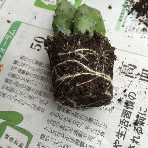 植え替えするサボテン